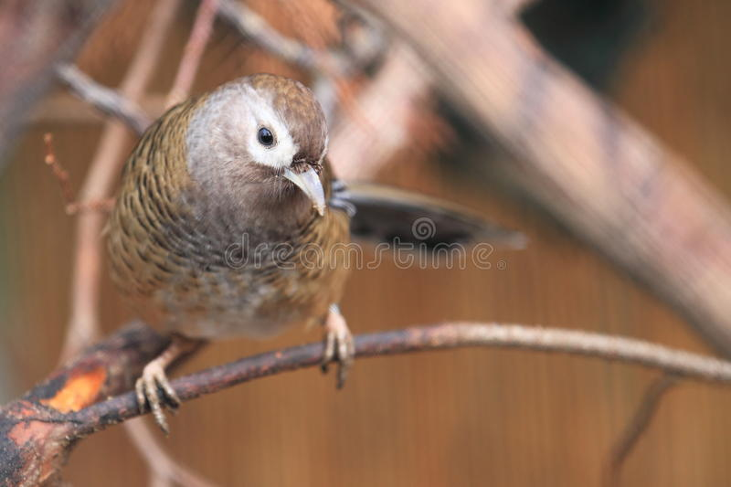 Download Barred laughingthrush stock photo. Image of nature, backed - 28343236