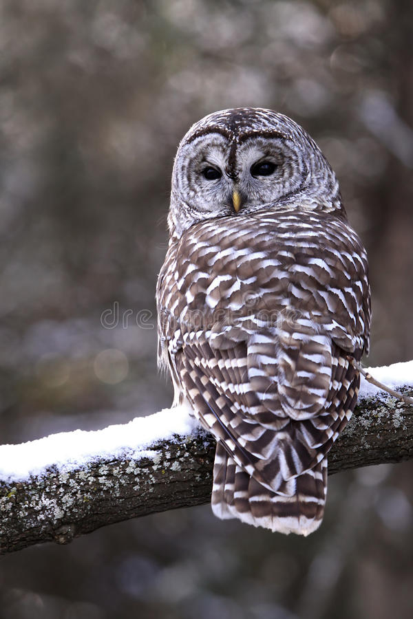 Barred Owl royalty free stock images