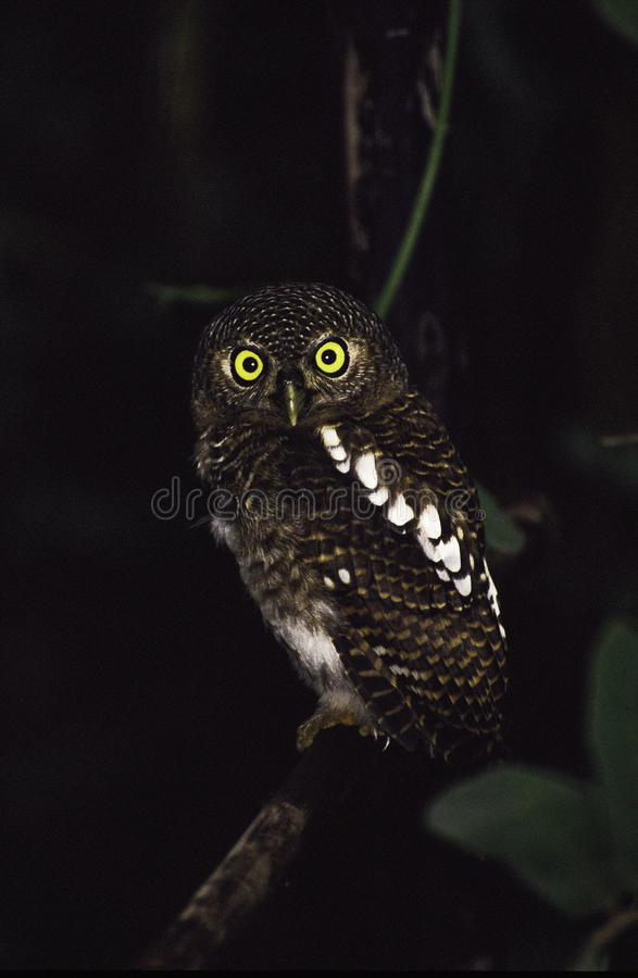 Barred Owl. Roosting in thick bush, Timbavati reserve, South Africa royalty free stock image