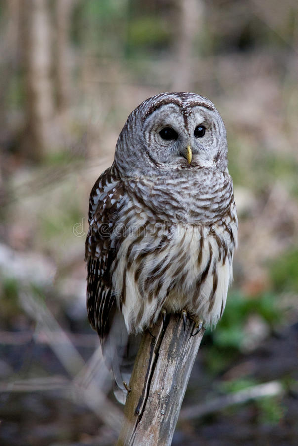 Download Barred Owl stock image. Image of varia, outdoors, wildlife - 24061023