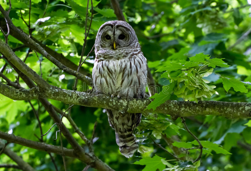 Download Barred Owl stock image. Image of tree, barred, branch - 25605749