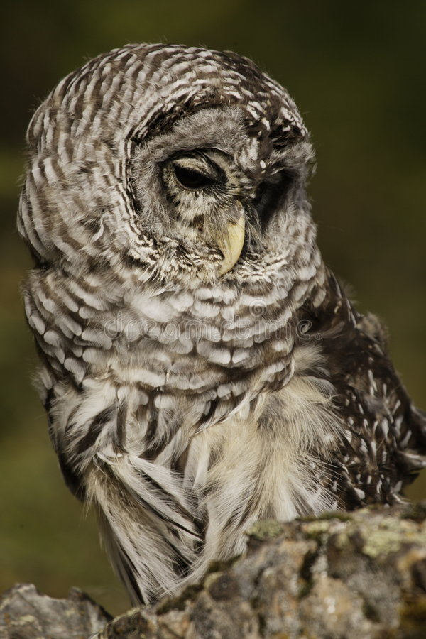 Download Barred Owl stock image. Image of sitting, looking, gray - 4301931