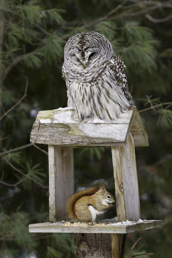 Free Barred Owl And Red Squirrel - Predator And Prey Royalty Free Stock Images - 39117159