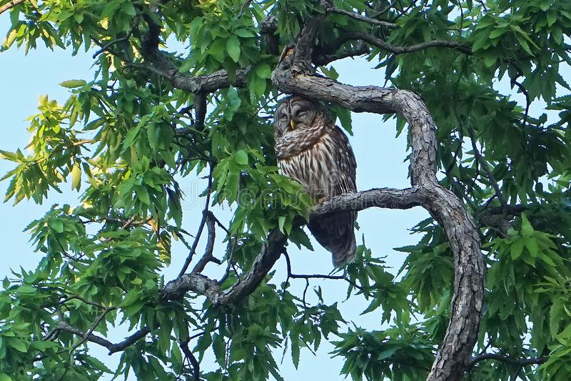 Barred owl. Asleep in a tree royalty free stock photos