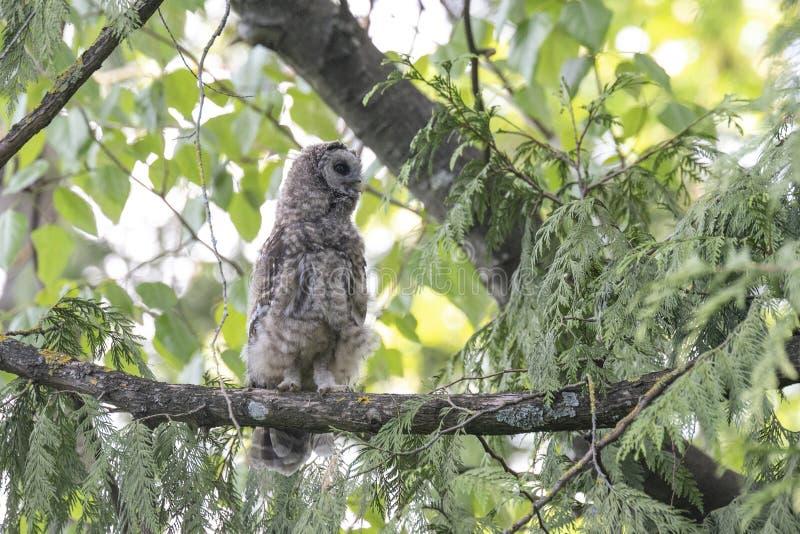 Barred owl bird stock photos