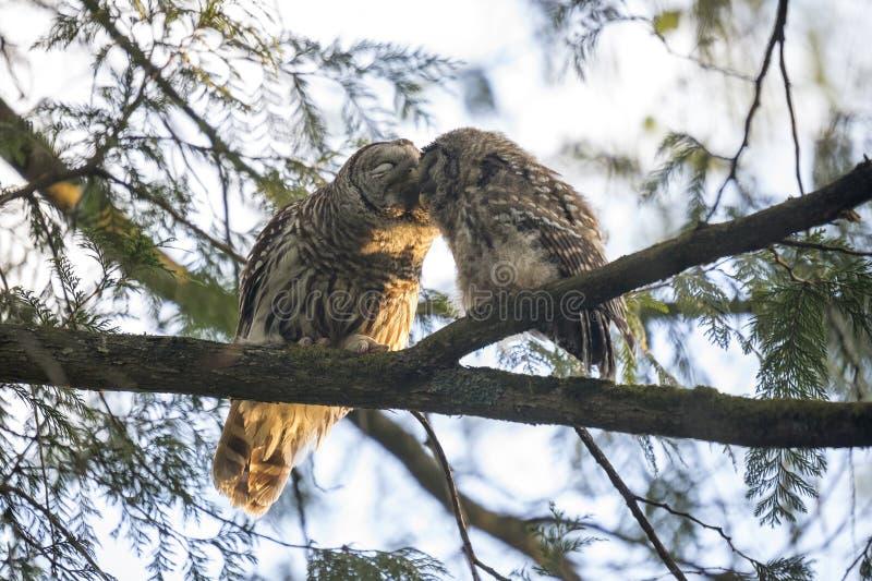 Barred owl bird royalty free stock image