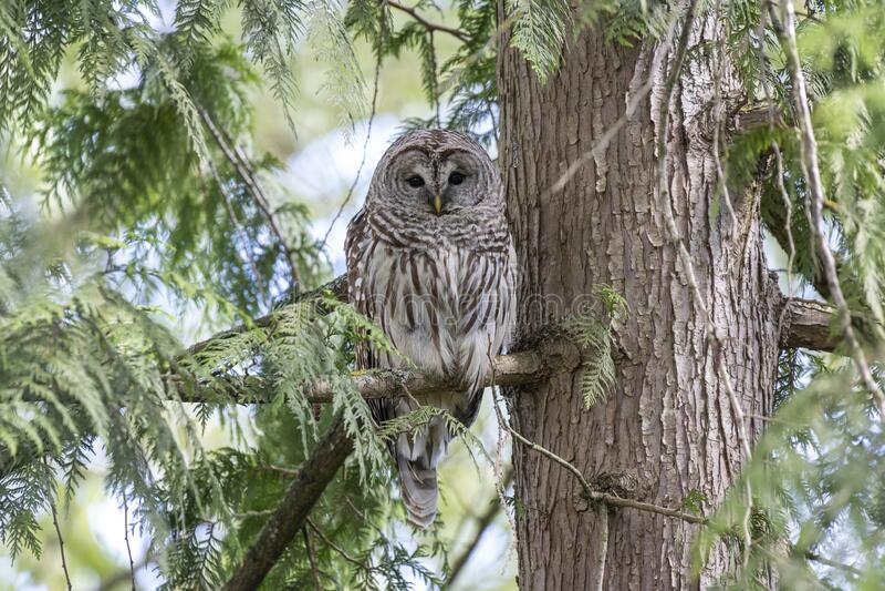 Barred owl bird stock photo