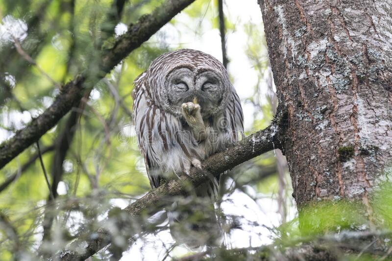 Barred owl bird royalty free stock images