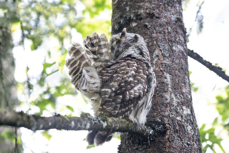 Barred owl bird royalty free stock photo