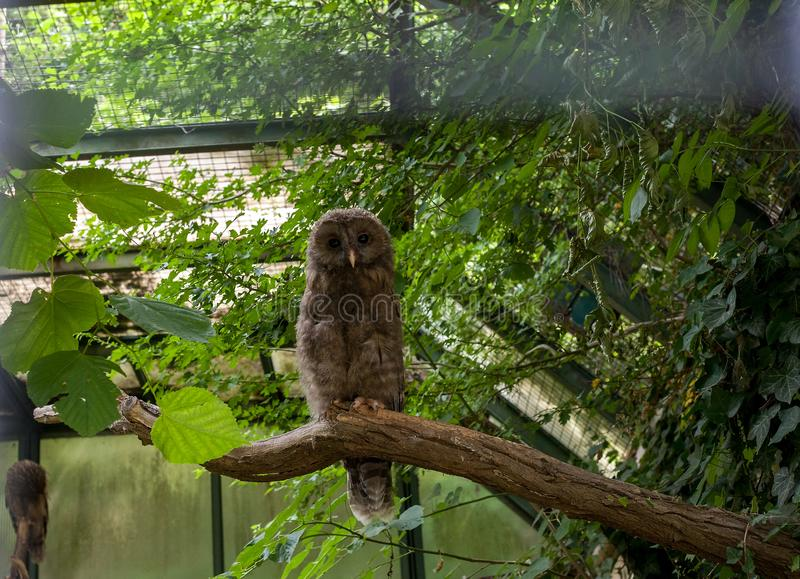 Barred Owl chick sitting on branch. Cute fluffy Strix Varia owlet on tree royalty free stock photo