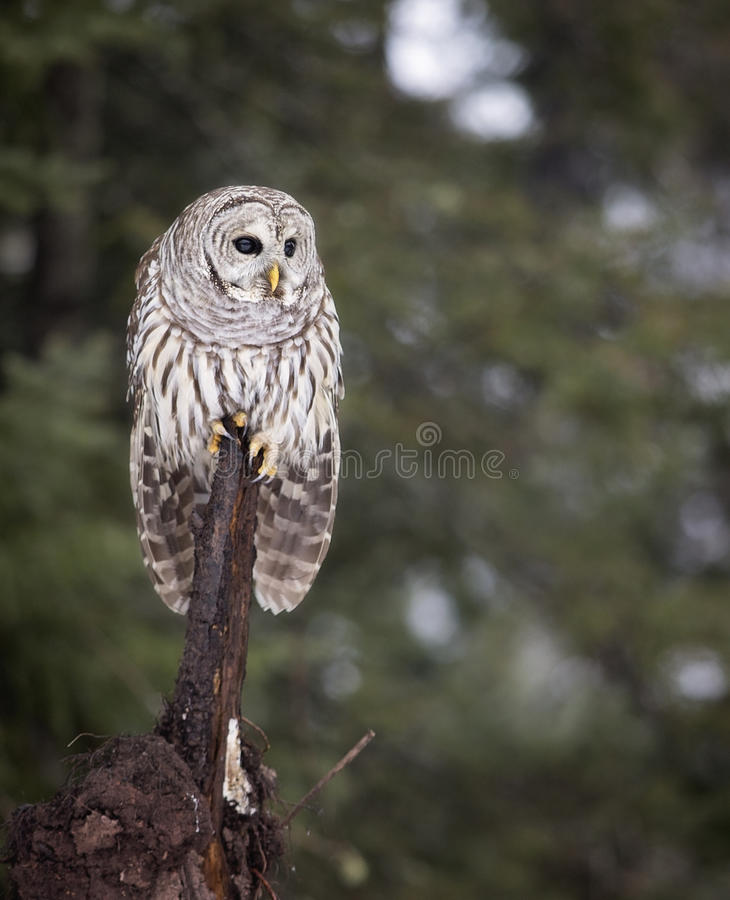 Barred Owl. Close up image of a Barred Owl in the wild. Winter in Northern Wisconsin stock image
