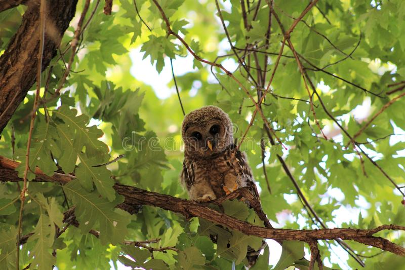 A barred owl gazes down. A barred owl perched in a tree gazes down searching for a meal royalty free stock photo