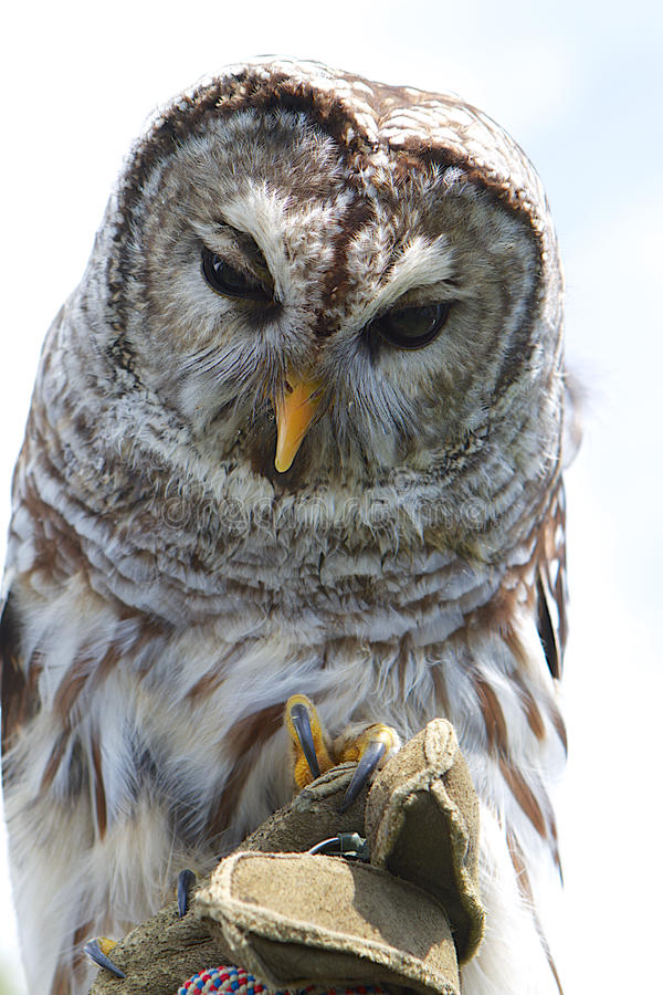 Barred Owl on Glove. Close-up of a Barred Owl perched on a falconers glove. White background stock photo