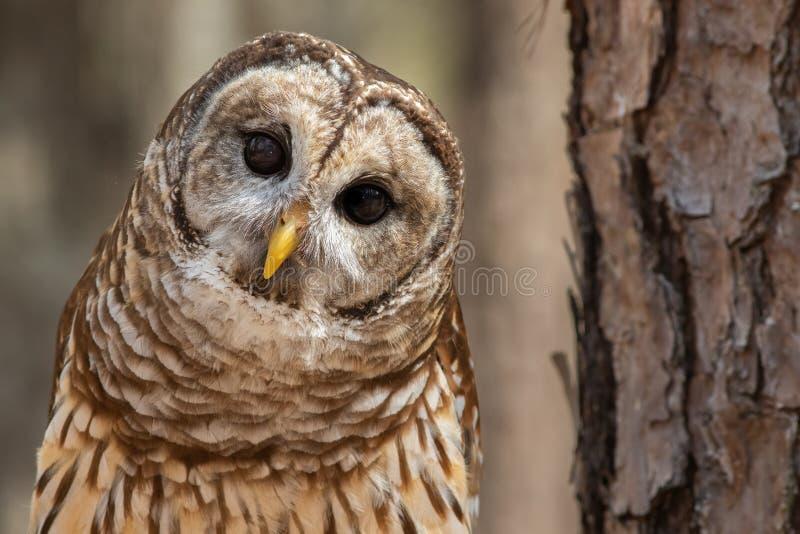 Barred Owl ist neugierig lizenzfreie stockbilder