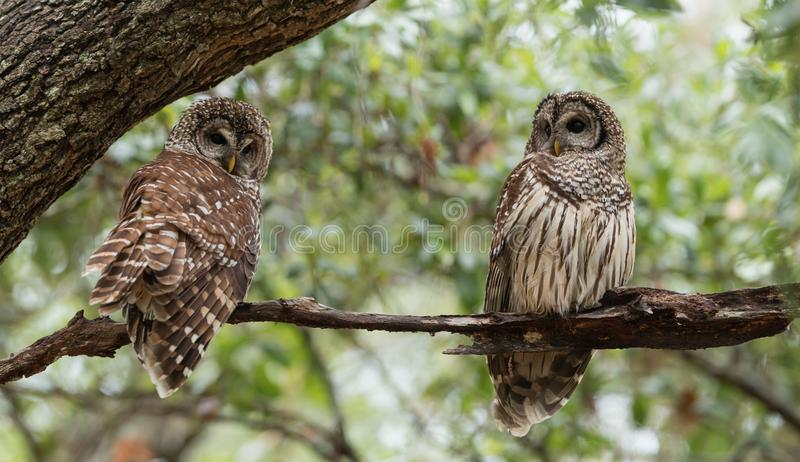 Barred Owl in Northern Florida. In Spring stock photos