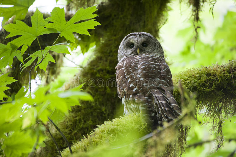 Barred owl in Olympic National Park. A Barred Owl sitting on a branch in Olympic National Park stock photography