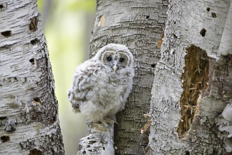A Barred owl owlet standing at the perched on some birch trees in the forest in Canada stock photo