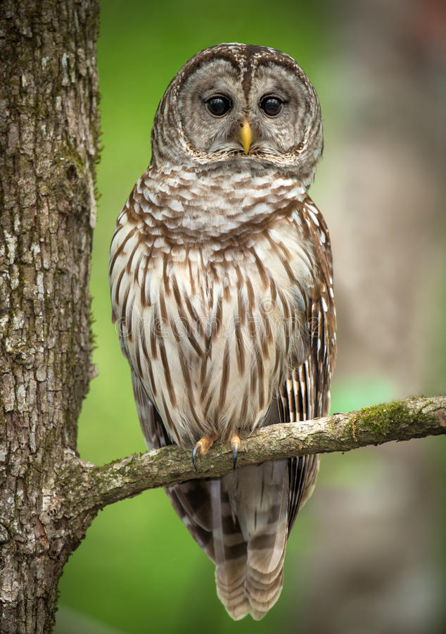 Free Barred Owl Perched On A Tree Branch Stock Photography - 47776622