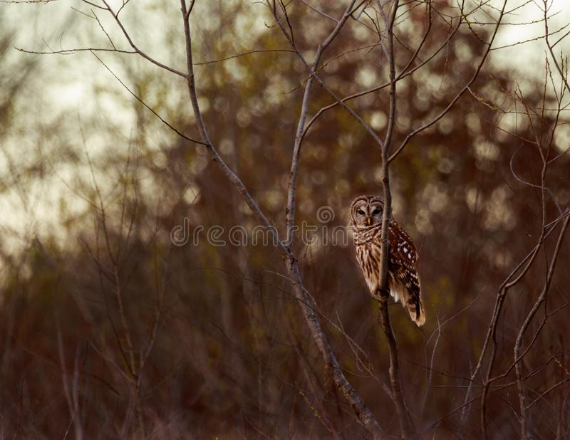 Barred Owl. A Barred Owl perched on a tree limb watching for some food in the field below at the Bald Knob Wildlife Refuge in Bald Knob, Arkansas 2017 stock photography