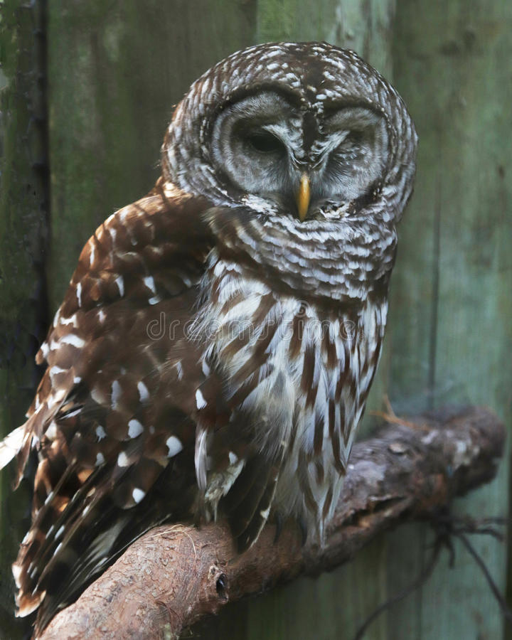 Barred owl resting on perch. Barred owl at rest on a perch in the Homosassa Springs state wildlife park in Florida royalty free stock photos
