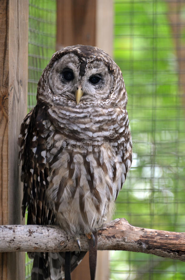 Download Barred Owl stock photo. Image of brown, perching, animal - 32717828