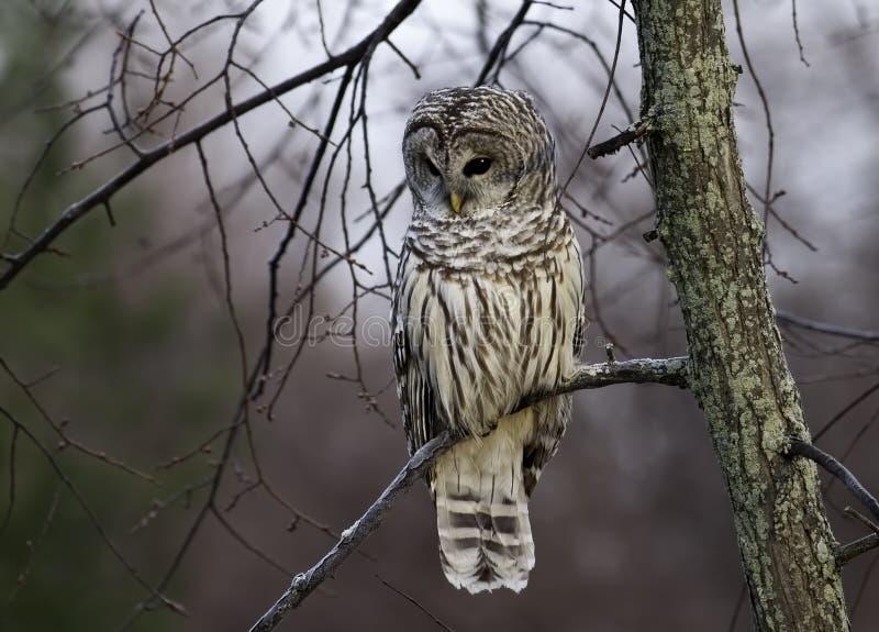 Barred Owl at sunrise. stock image