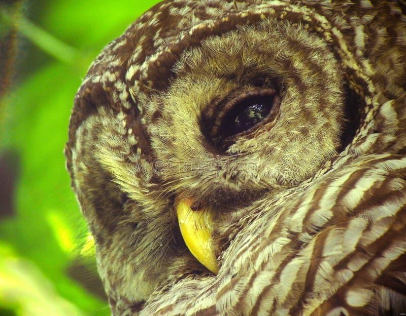 Barred Owl Free Public Domain Cc0 Image