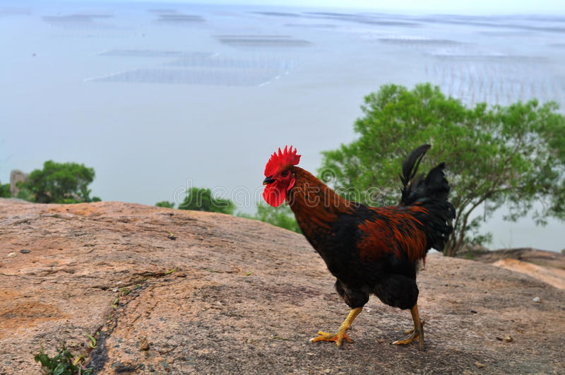 Download Barred Plymouth Rock Chickens Stock Photo - Image: 23687364