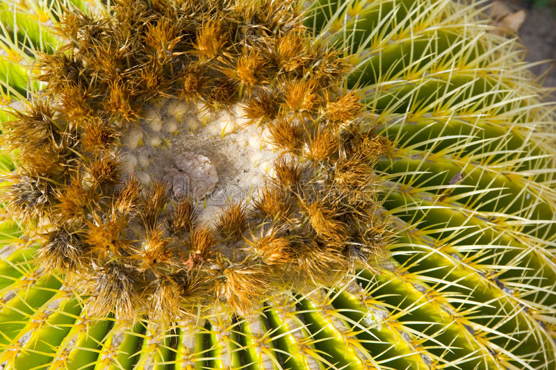 Barrel Cactus. A closeup of a Barrel Cactus in the Southern California desert royalty free stock images