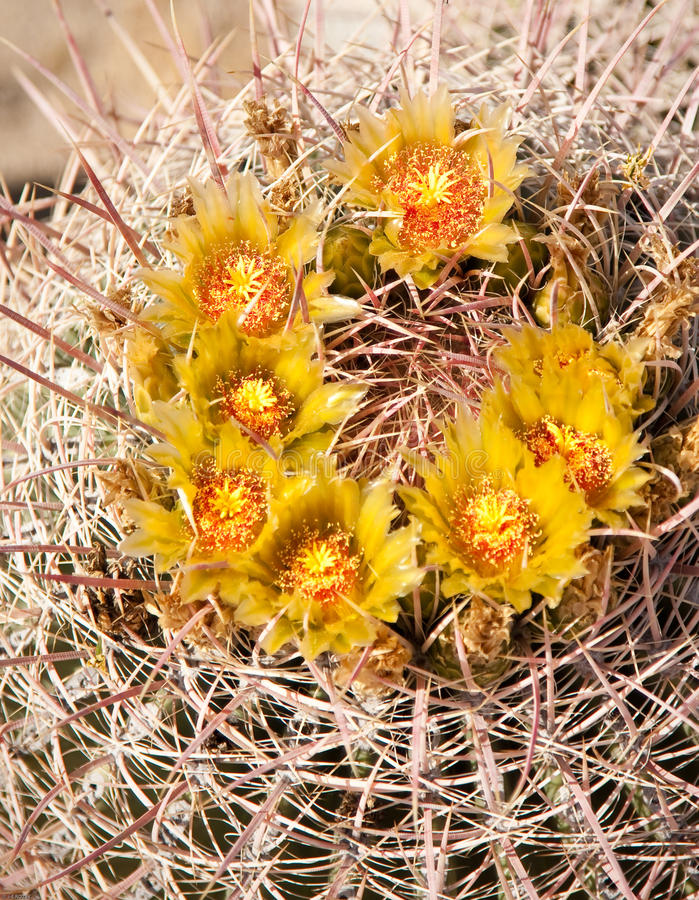 Barrel Cactus in bloom royalty free stock photography