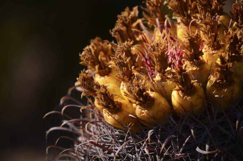 Download Barrel Cactus Stock Photo - Image: 49721626