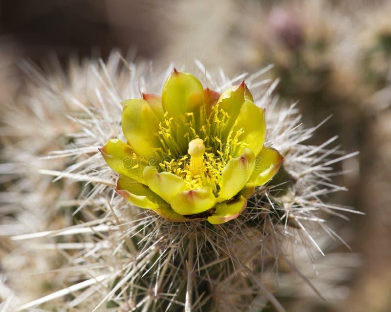 Barrel Cactus plant in Anza Borrego desert royalty free stock photo