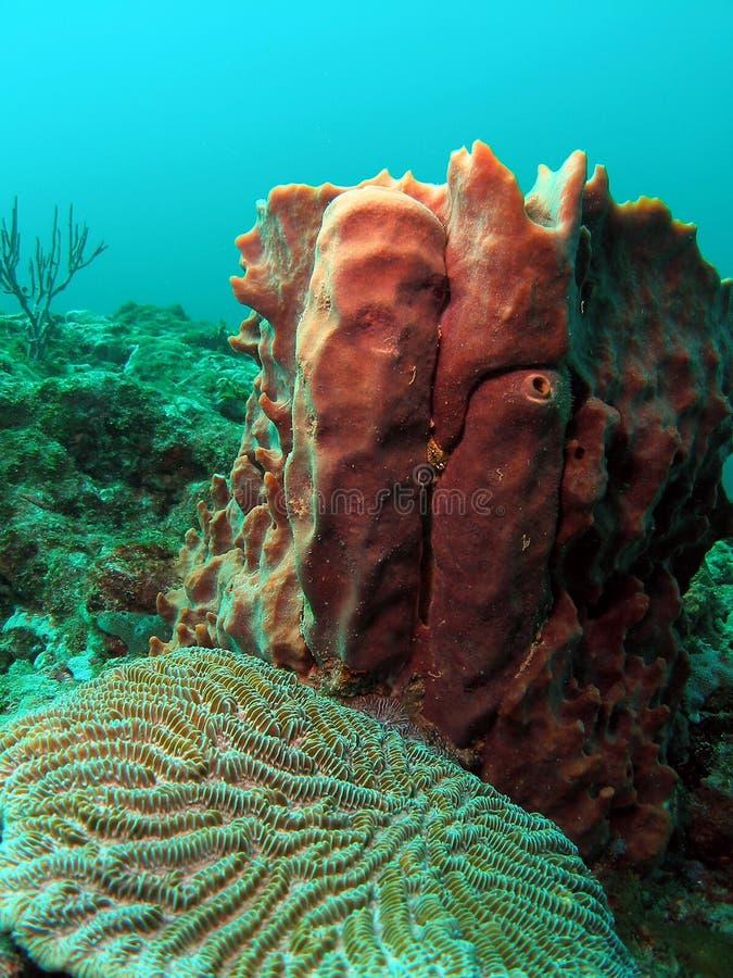 Barrel Coral royalty free stock photos