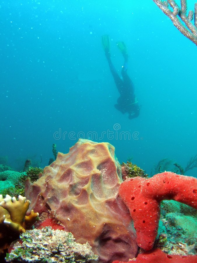 Barrel Coral with Diver royalty free stock image