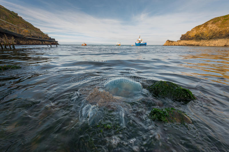 A barrel jellyfish stranded on the Pembrokeshire coast stock images
