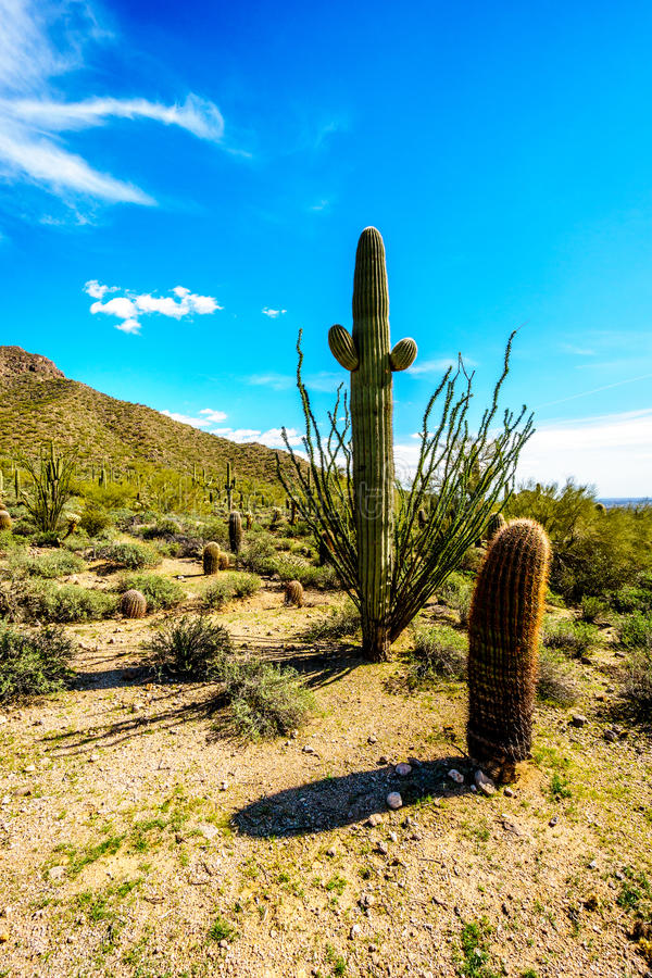 Barrel, Saguaro and Ocotillo cacti in the semi desert landscape of Usery Mountain Regional Park near Phoenix Arizona. With its many varieties of Cacti such as stock photography