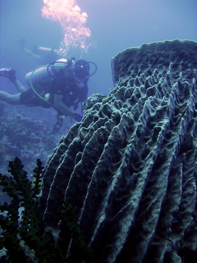 Barrel sponge scuba diver philippines stock photos