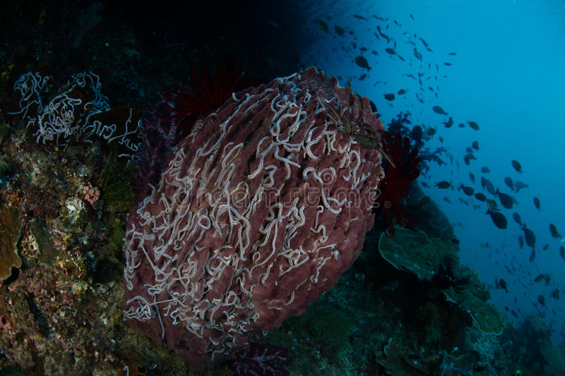 Barrel Sponge and Sea Cucumbers in Raja Ampat. White sea cucumbers cover a barrel sponge in Raja Ampat, Indonesia. This remote region of eastern Indonesia is royalty free stock photography
