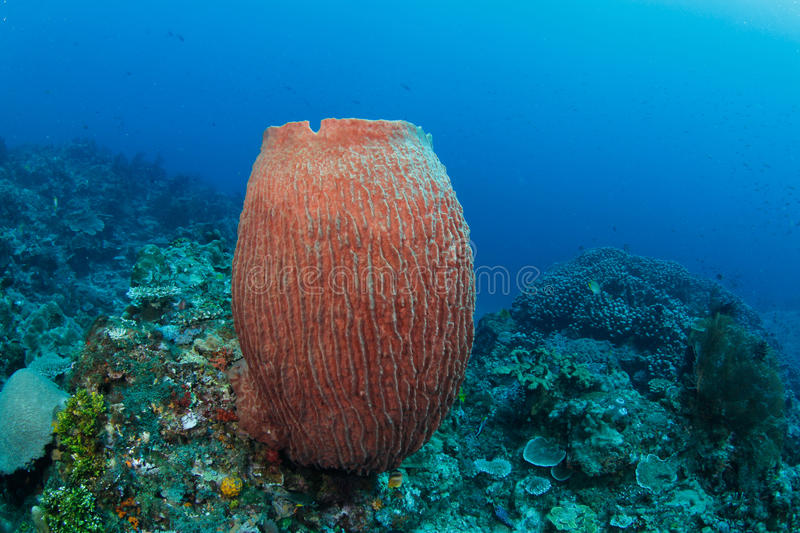 Barrel sponge in tropical coral reef. A big barrel sponge growing in a tropical coral reef royalty free stock photography