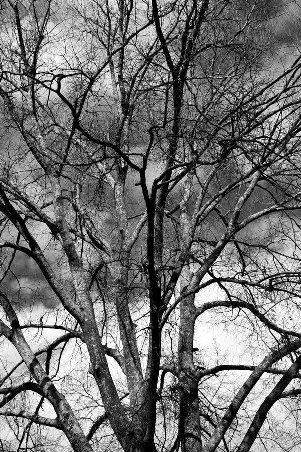 Barren-boom op winterseizoen achtergrond stock fotografie