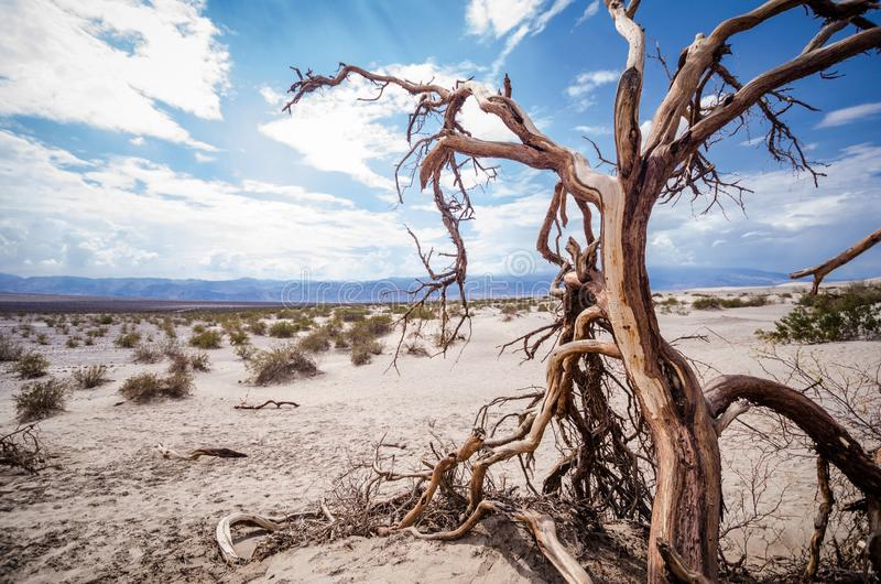 Barren desert sandy landscape of Death Valley National Park in California with sagebrush, a lone twisty tree and sand dunes. In summer royalty free stock images