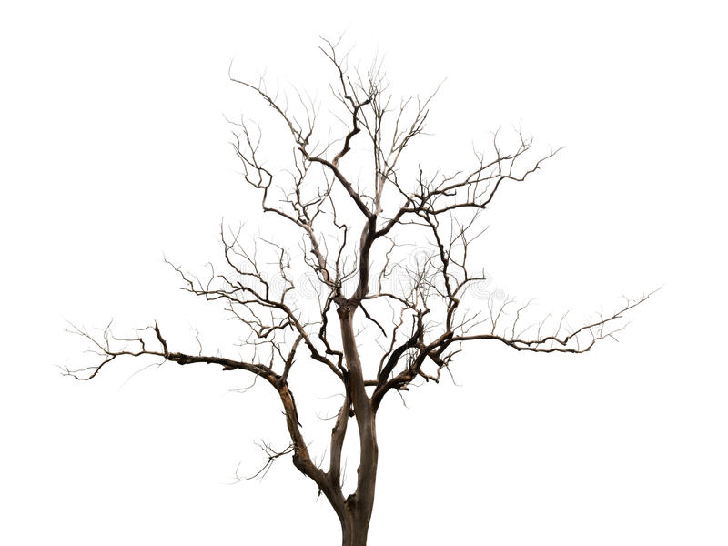Barren tree isolate on white background royalty free stock photo