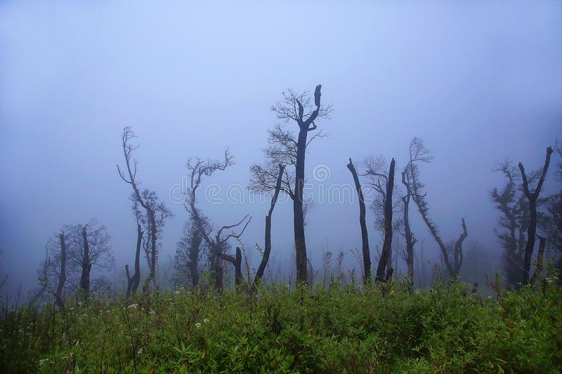 Barren tree in mist. Dzukou Valley. Border of the states of Nagaland and Manipur, India. Well known for its natural beauty, seasonal flowers and the overall royalty free stock photography