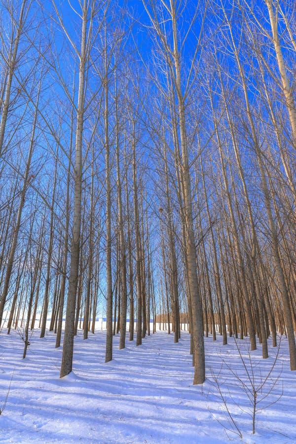 Barren trees in snowy field. royalty free stock image
