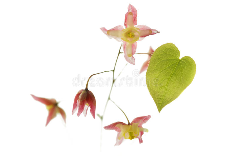 Barrenwort (Epimedium rubrum) kwiat obrazy royalty free
