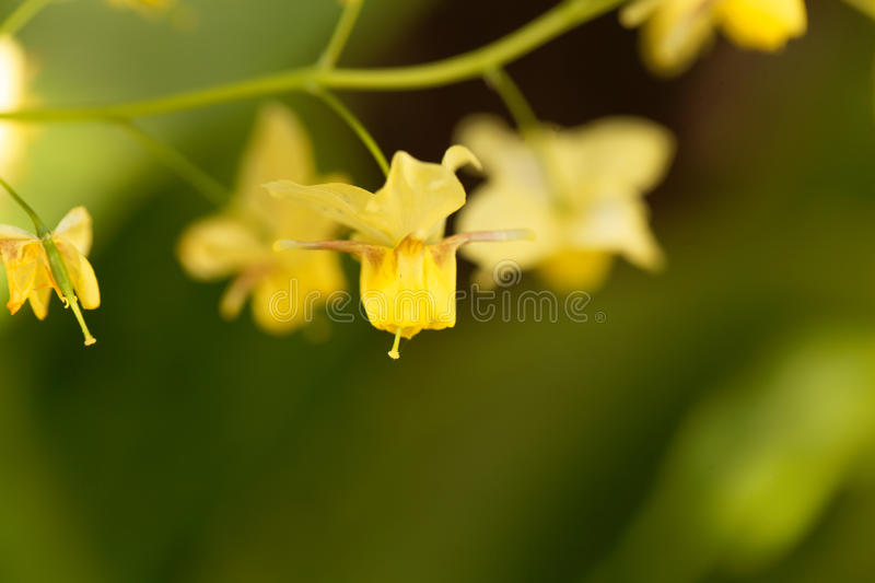 Barrenwort Epimedium x versicolor obraz royalty free
