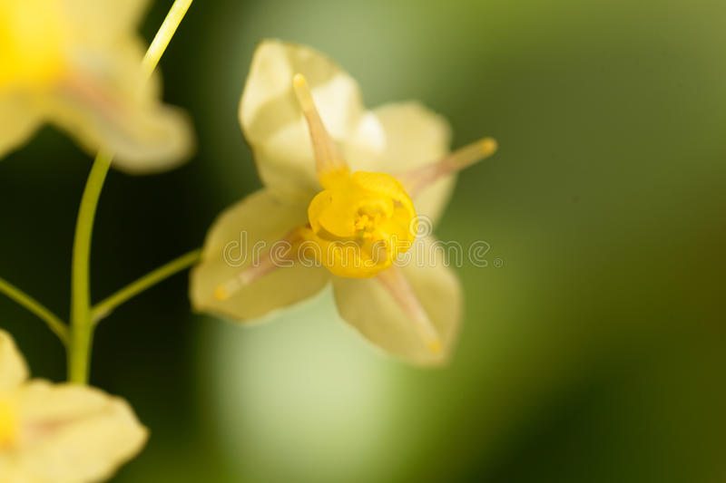 Barrenwort Epimedium x versicolor fotografia stock