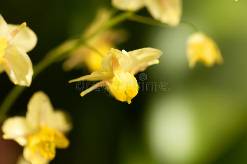 Barrenwort Epimedium x versicolor obrazy royalty free
