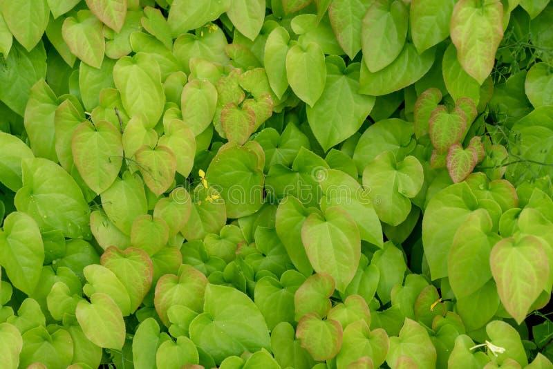 Barrenwort roślina opuszcza dla tło projekta, epimedium pinnatum obrazy royalty free