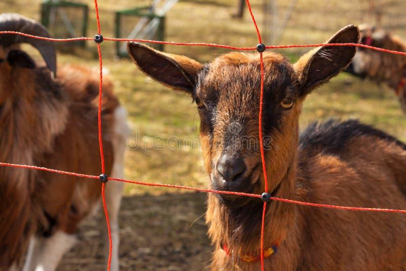 Barrière électrique pour l'élevage Berger frôlant pour des moutons et des chèvres photo stock